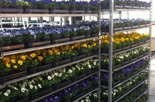 Viola Cornuta in 13 verschillende kleuren