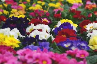 Primula in 7 verschillende kleuren