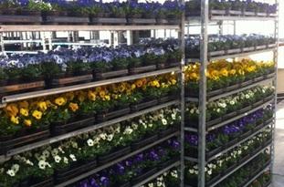 Viola Cornuta in 13 verschillende kleuren verkrijgbaar