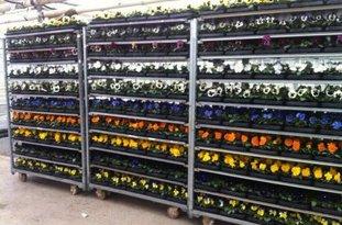 Viola F1 in 13 verschillende kleuren verkrijgbaar